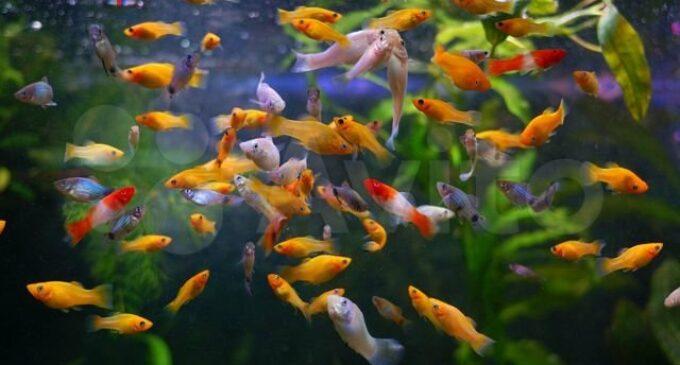 В мире исследований. Музыка Вивальди успокаивает изолированных от общества рыб